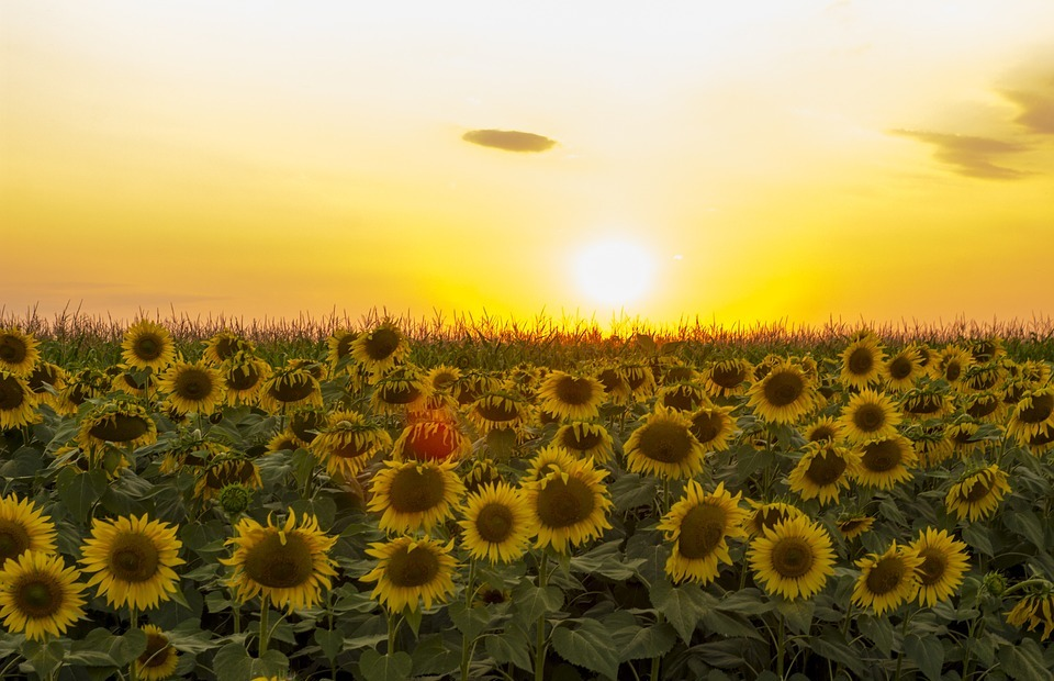 sunflower, sunset, dramatic sky