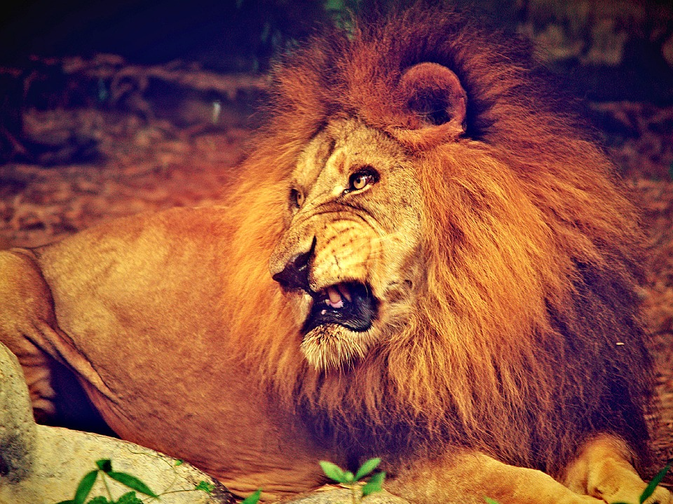 lion, african, pride