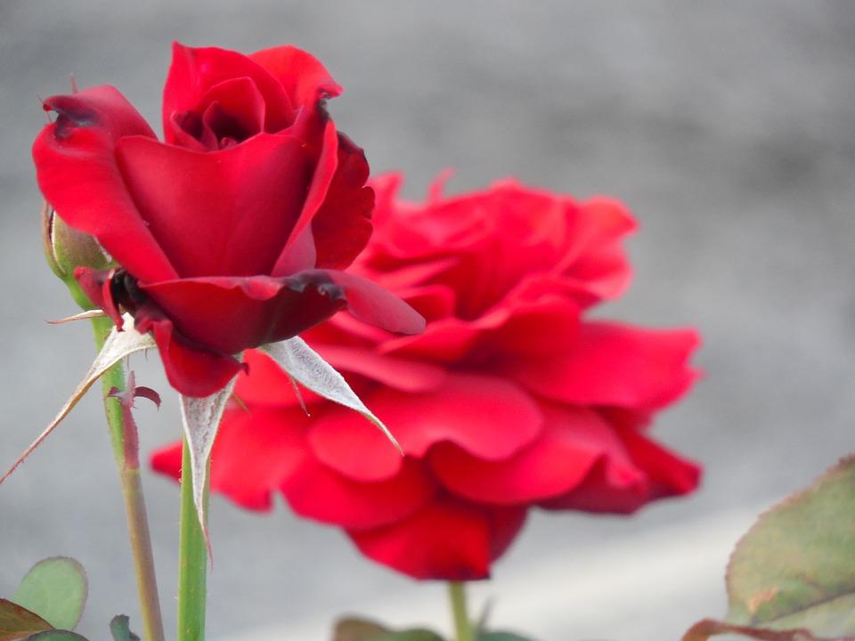 flower, rose, nature