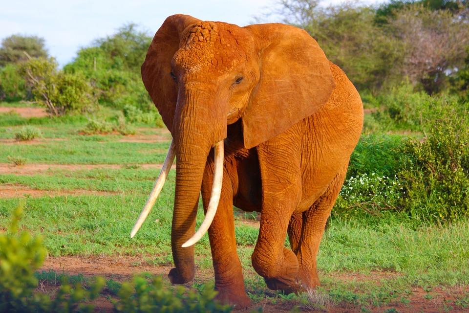 elephant, tusks, trunk