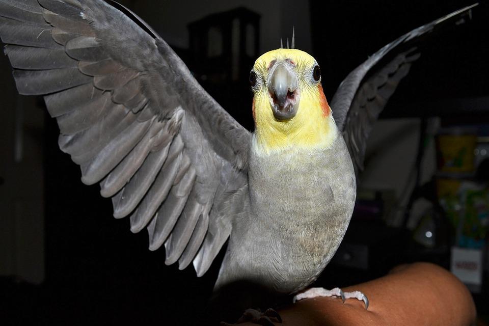 cockatiel, angry bird, birds