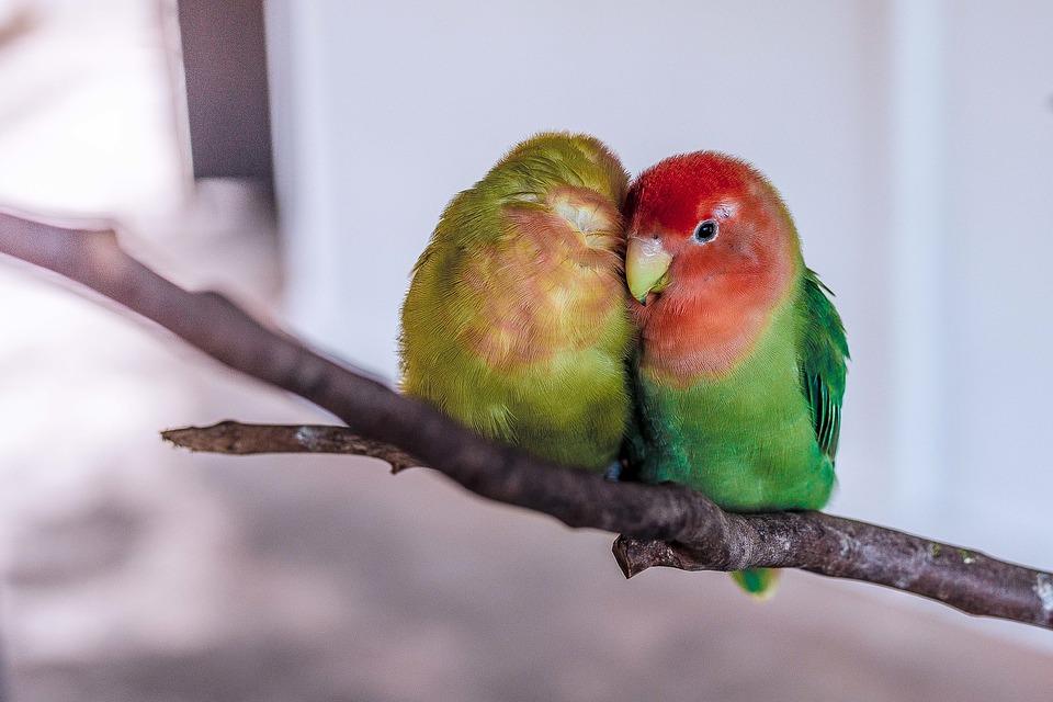 parrot, birds, pet
