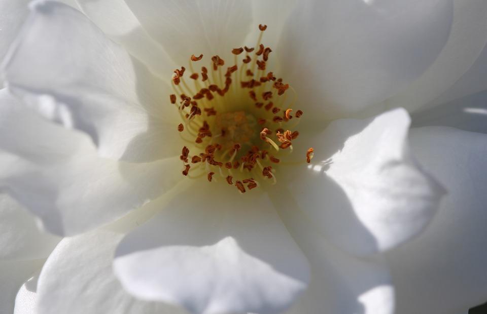 white gardenia, flowers, bloom