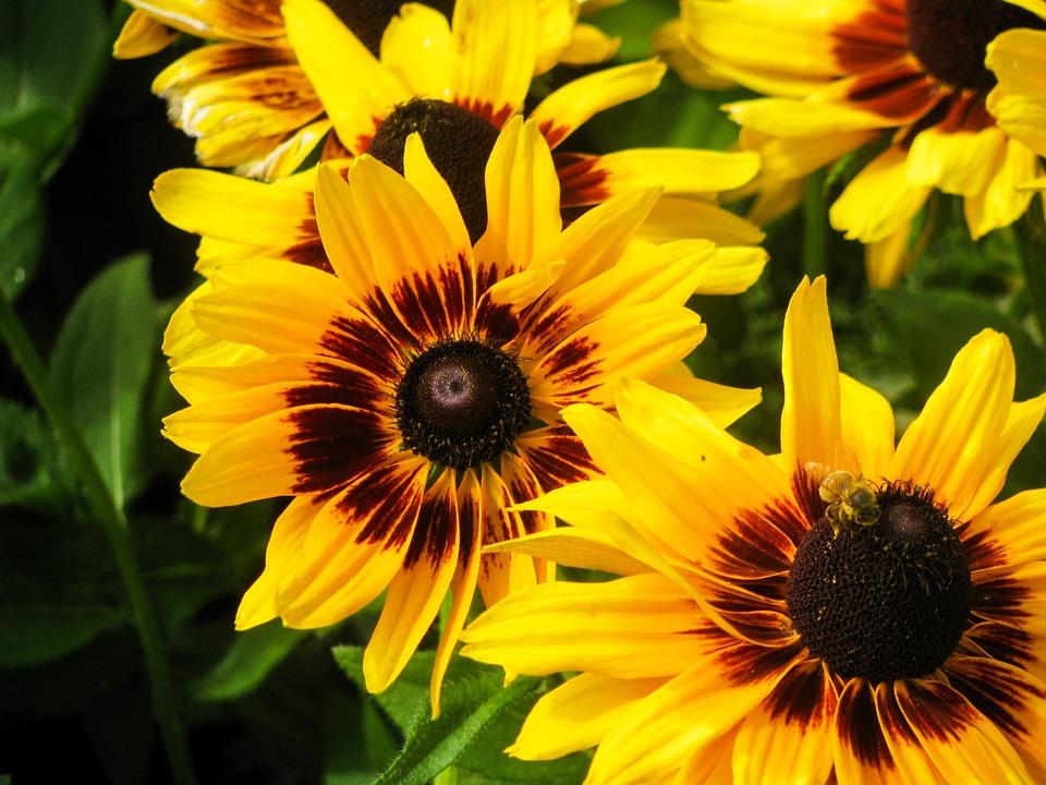 sunflowers, flowers, yellow
