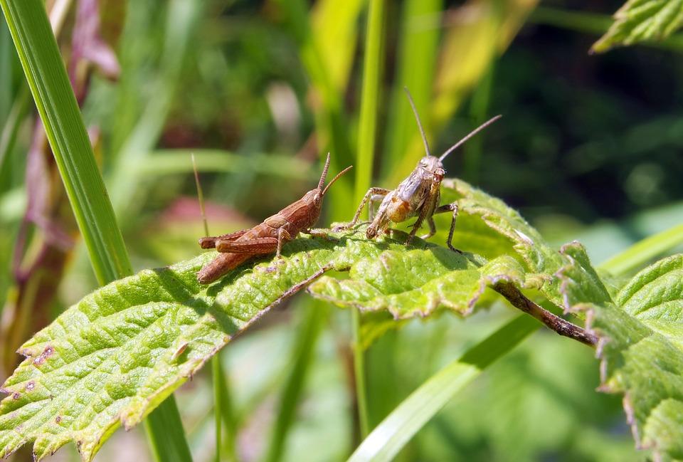 grasshopper, cricket, konik