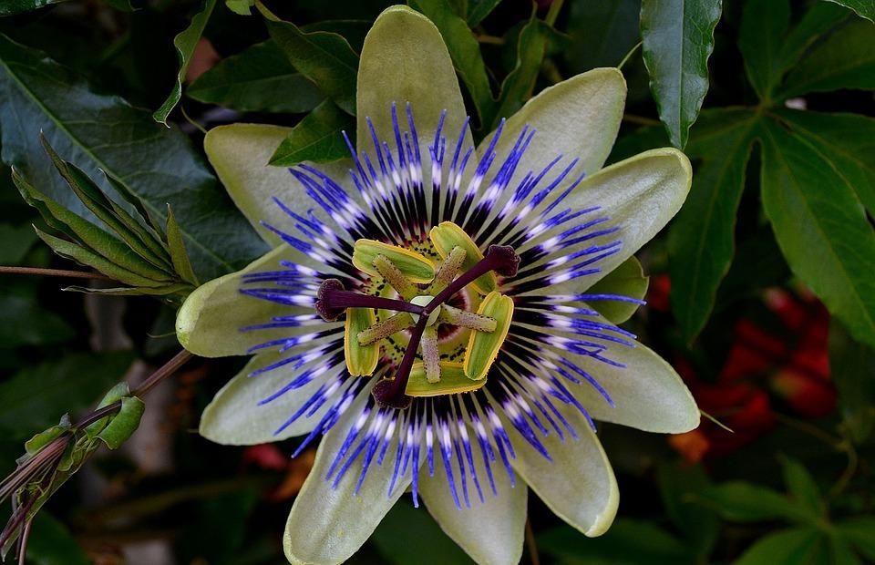 passionflower, color, exotic bush