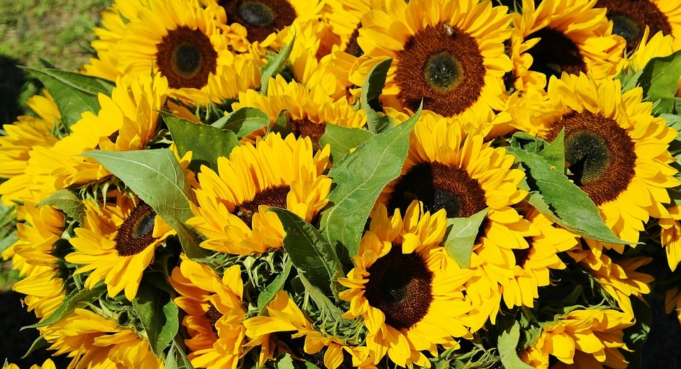 sunflower, sunflower field, bouquet