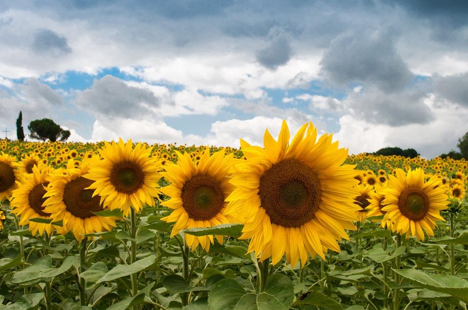 sunflower, summer, sun