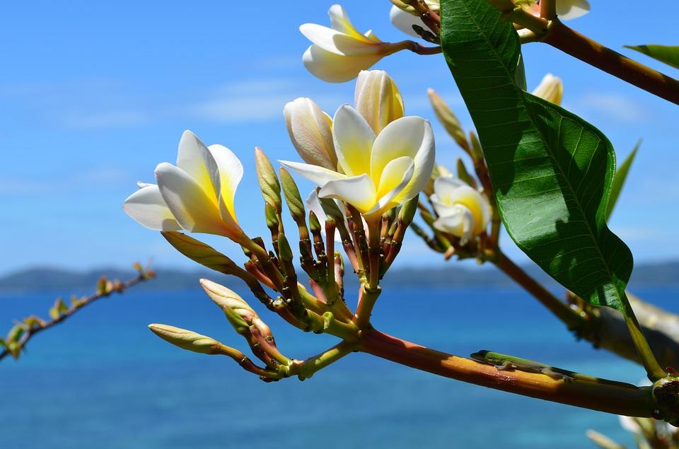 flowers, frangipane, exotic