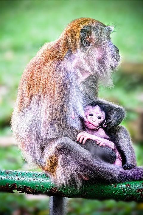 monkeys, animals, baby