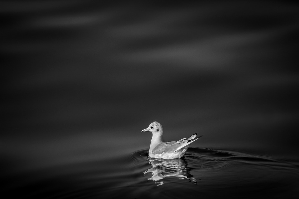 bird, water, white