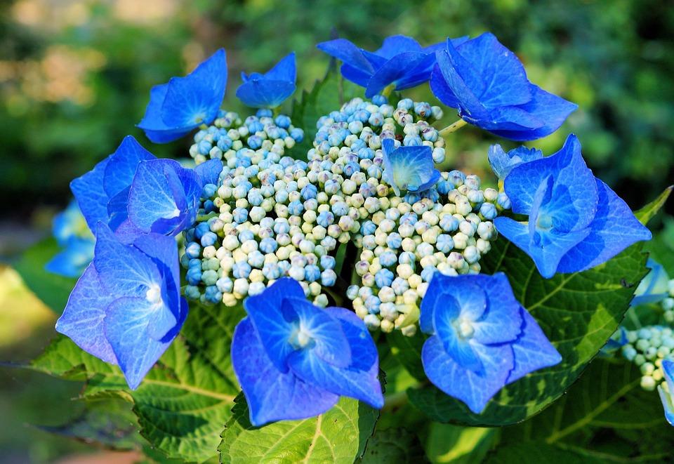 hydrangeas, hydrangea, flowers