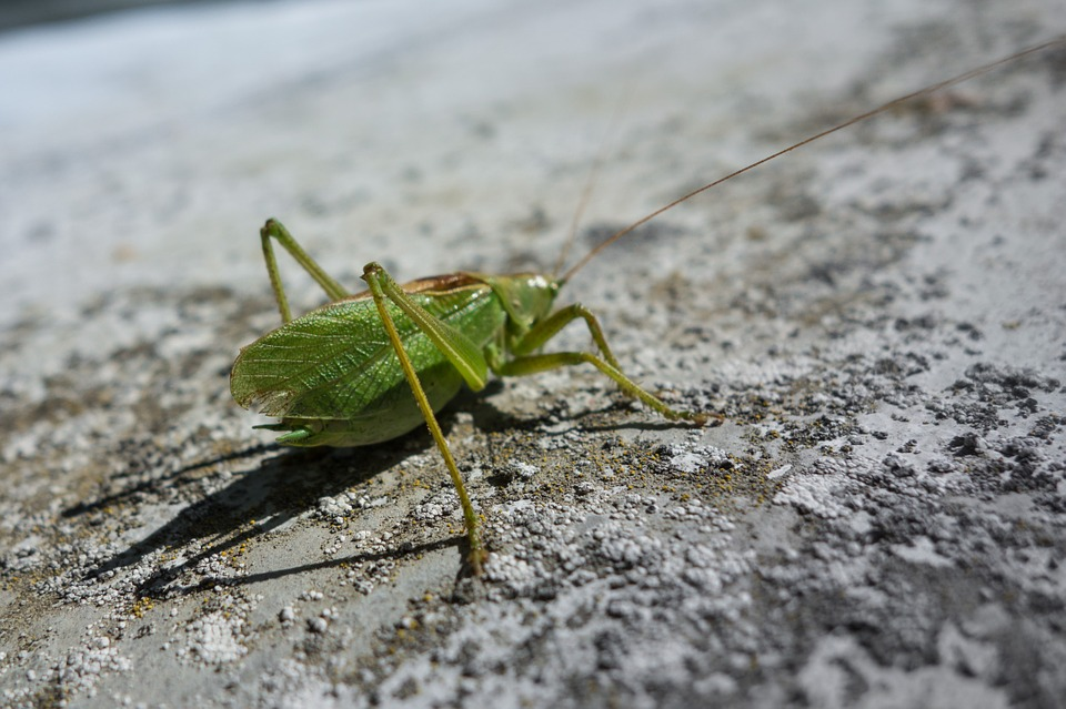 cricket, nature, animal