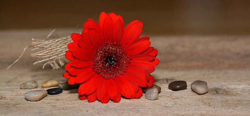 gerbera, flower, blossom