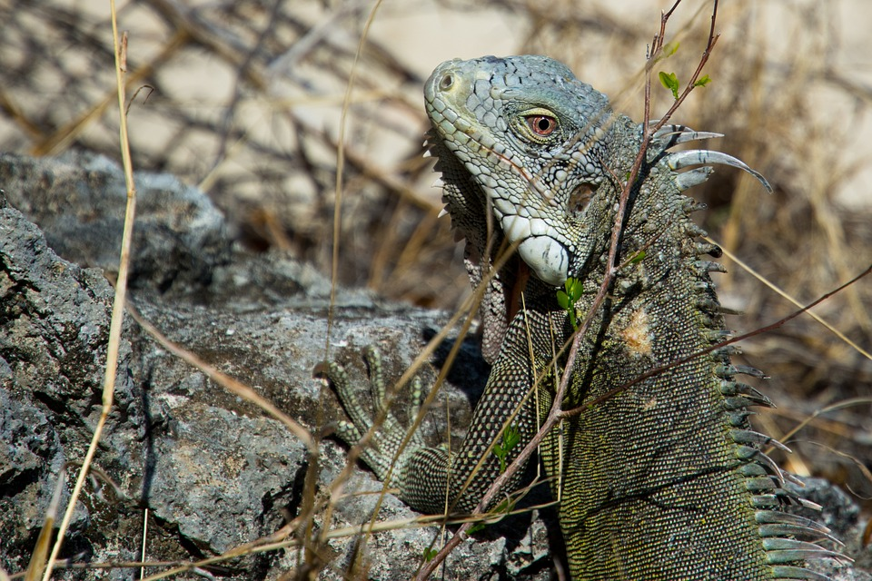 iguana, reptile, lizard