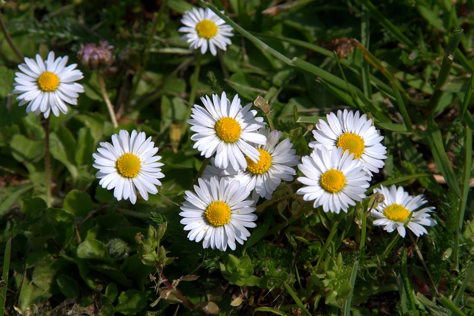 daisies, flowers, small flowers