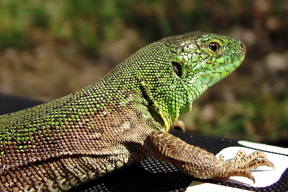 reptiles, lizard, nature