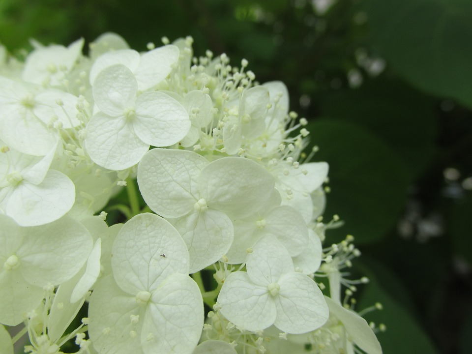 hydrangea, white-flowered, deciduous