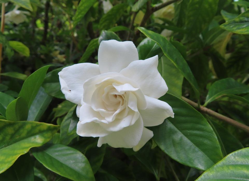 gardenia, white, green
