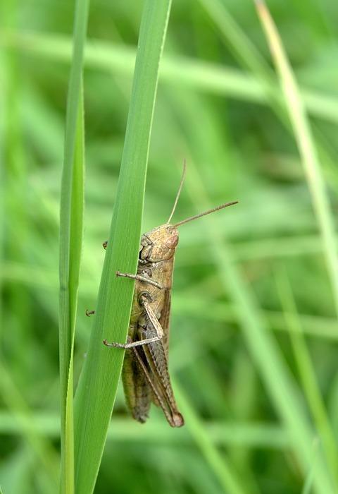 grasshopper, tettigonia viridissima, cricket