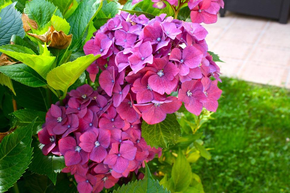 hydrangeas, pink flowers, floral