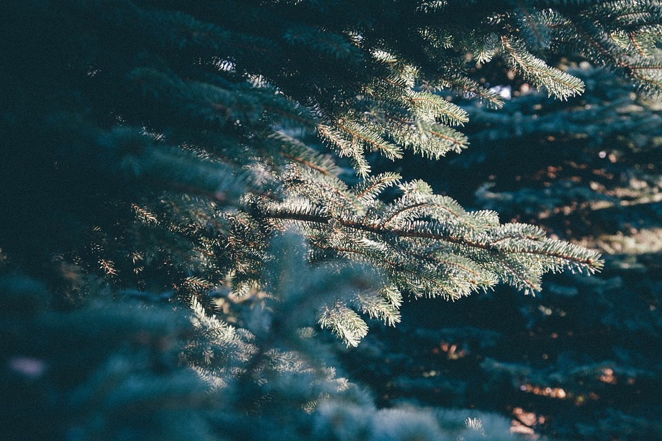 pines, frozen, snow