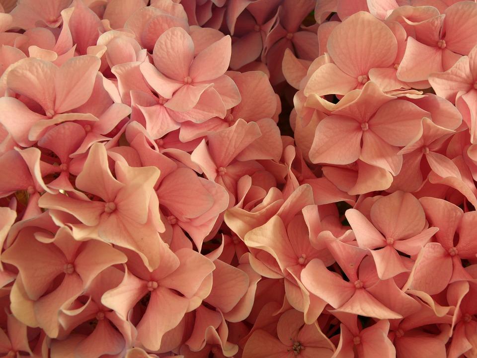 flower, floral, hydrangea