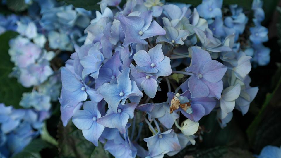 hydrangeas, flower, hortensis