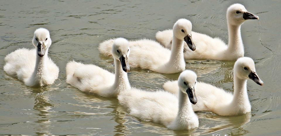 swan, baby swan, baby swans