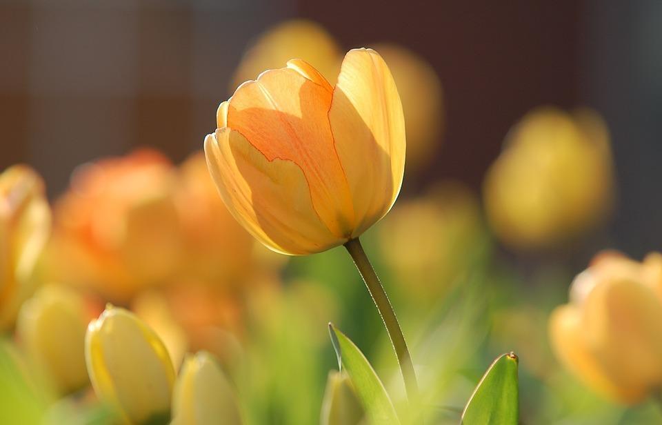 tulip, yellow, bright
