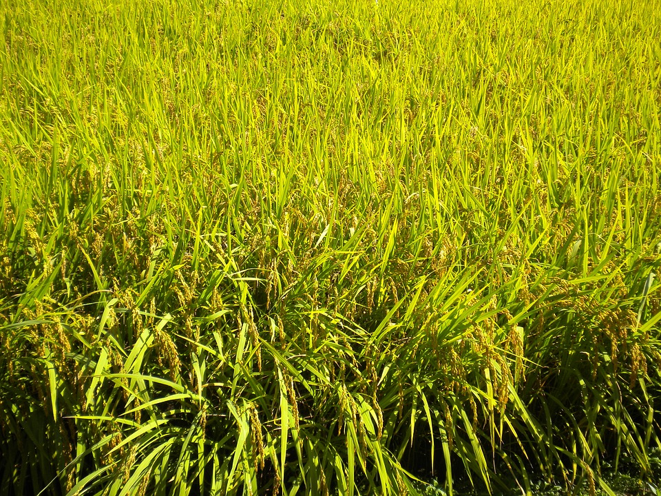 korea, gyeonggi gapyeong, rice farm