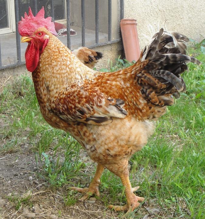gallo, chicken coop, animals