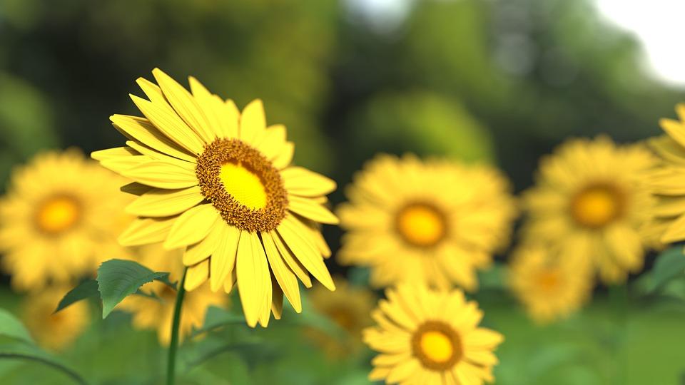 sunflower, flower, nature