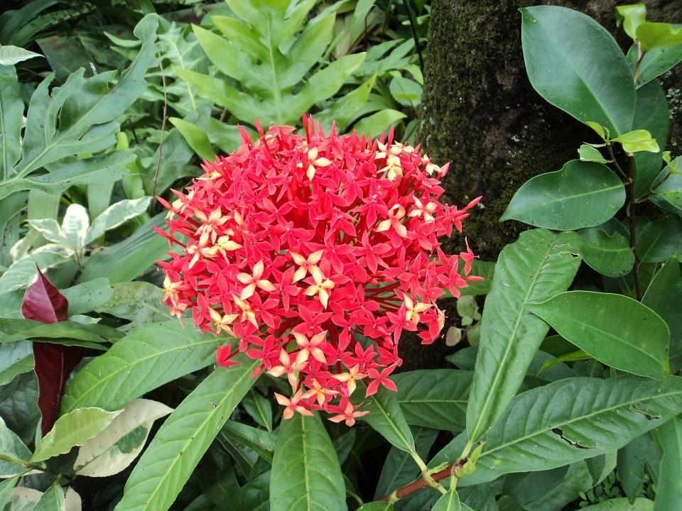 red santan, red flower, small flower