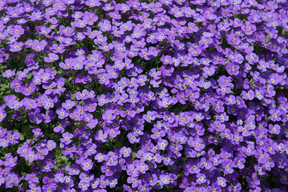 purple, flowers, small flower