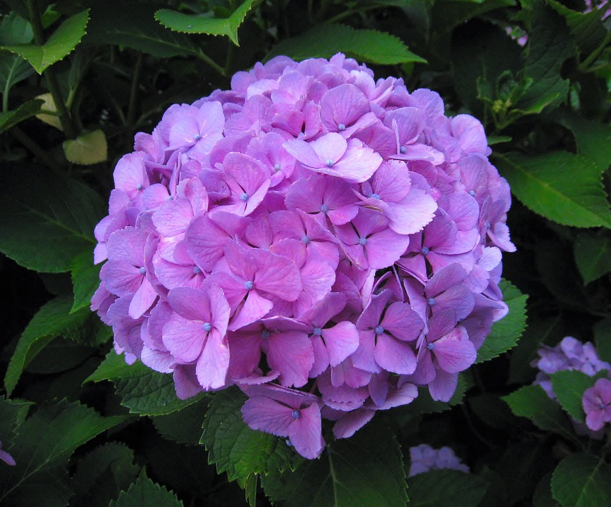hydrangea, ota kisan, flowers