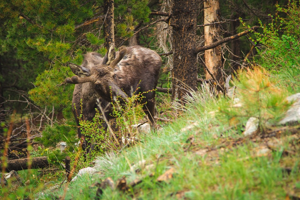 moose, calf, young