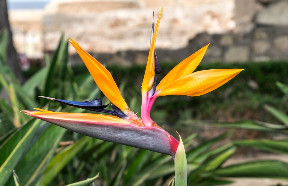 flower, exotic, tropical