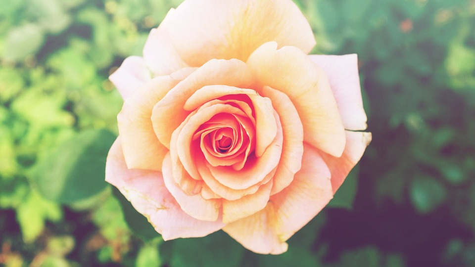 rose, flower, orange