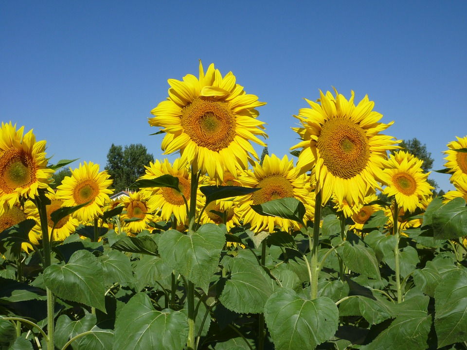 sunflowers, sky, summer