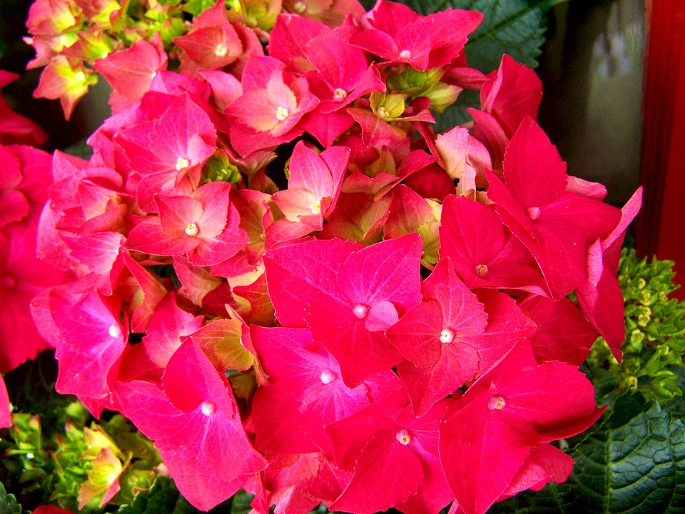 hydrangea, flower garden, pink