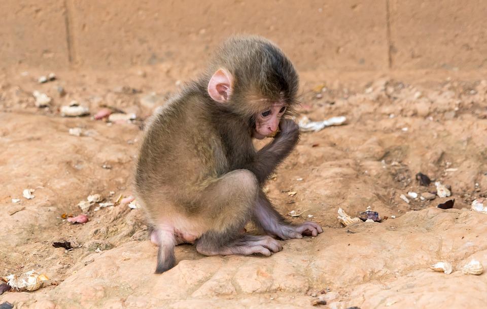 monkey, baby, animal