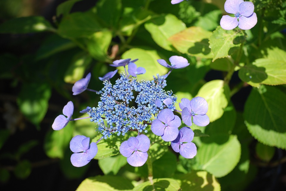 hydrangea, garden, flowers