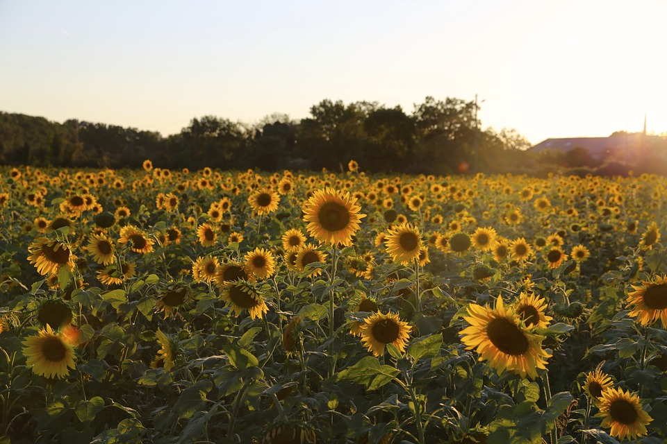 sunflower, provence, light
