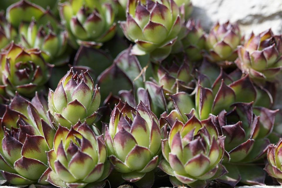 succulents, rock garden, exotic