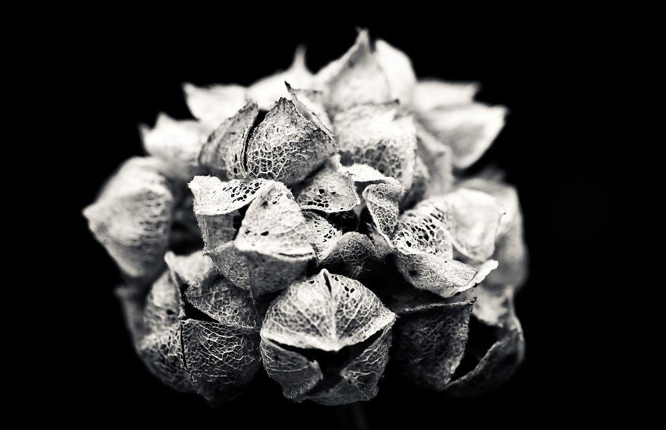 hydrangea, flower, garden