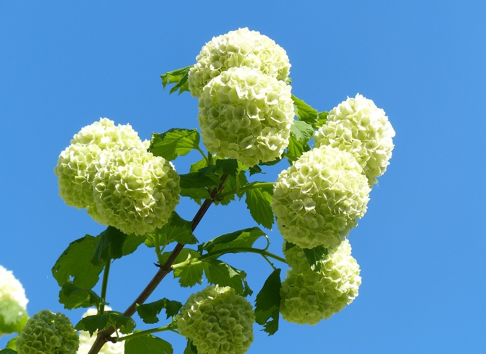 hydrangea, snow ball, white flowers