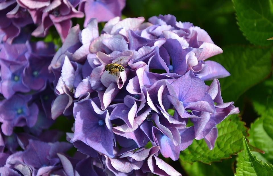 hydrangea, purple, green