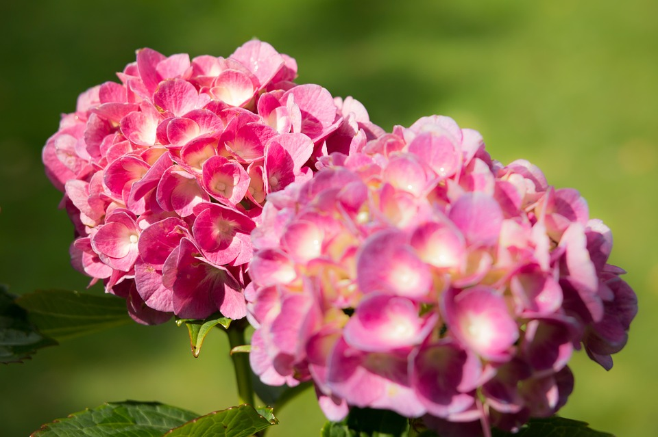 hydrangea, bloom, grow