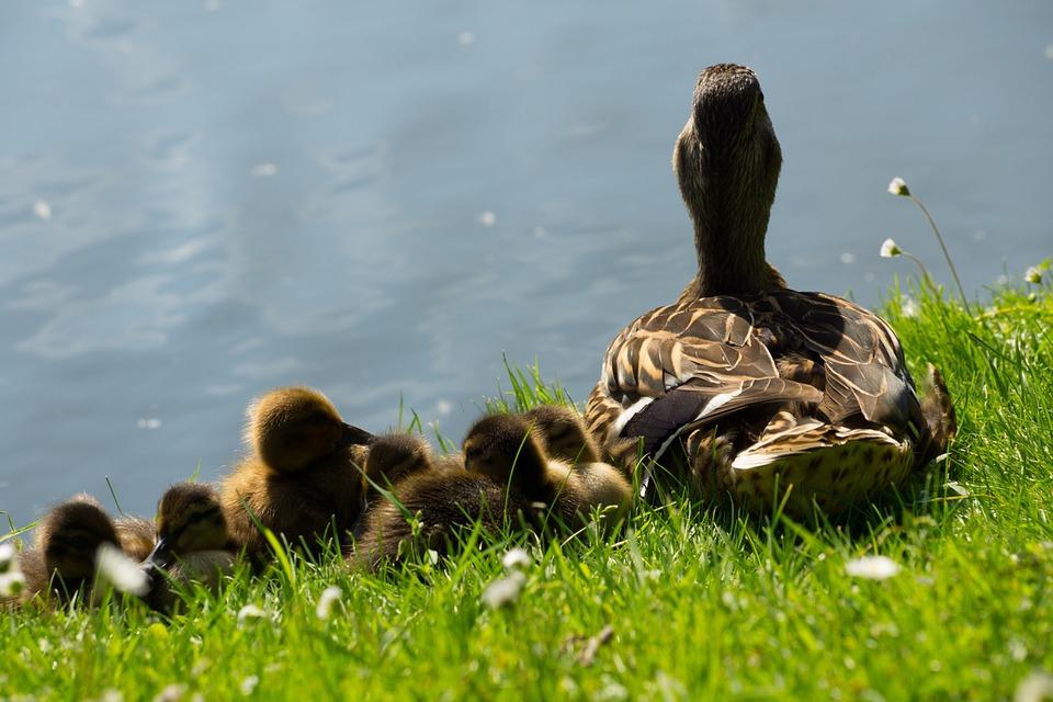 ducks, duck, baby ducks